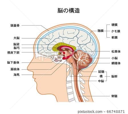 大腦的結構 66748871