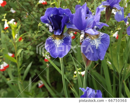 Smaller iris flower than German iris 66750368