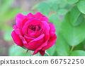 새빨간 장미 꽃 66752250