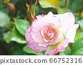 연분홍 장미 꽃 66752316