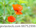 화려한 양귀비 꽃 66752996