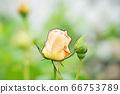 밝은 노란색 장미 꽃 66753789