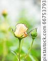 밝은 노란색 장미 꽃 66753793