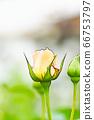 밝은 노란색 장미 꽃 66753797