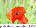 화려한 양귀비 꽃 66754359