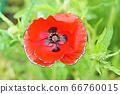 화려한 양귀비 꽃 66760015