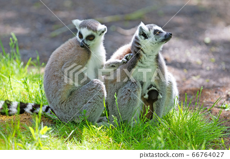 Ring-tailed lemur with a baby 66764027