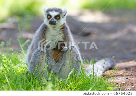 Ring-tailed lemur with a baby 66764028