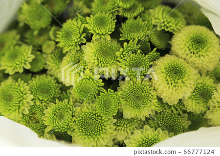 Green chrysanthemum flowers bouquet in white paper 66777124