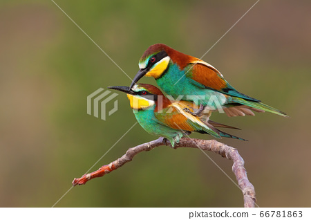 Couple of european bee-eater copulating on a twig in mating season 66781863