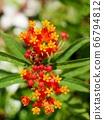 Milkweed flowers and buds 66794812