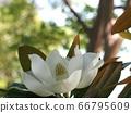 Taishan tree in sunny rainy season park 66795609