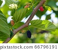 Mulberry branch close-up 66796191