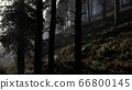 Calm moody forest in misty fog in the morning 66800145