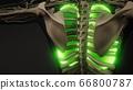 Human Lungs Radiology Exam 66800787
