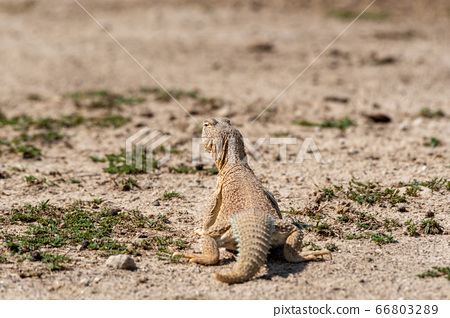 Spiny tailed lizards or Uromastyx in tal chhapar sanctuary rajasthan india 66803289