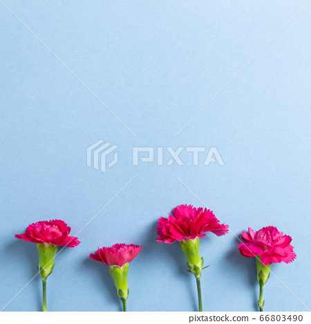 Pink spray carnation flowers on blue background. Floral composition, flat lay, top view, copy space 66803490