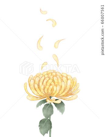 국화 꽃 노란색 66807561