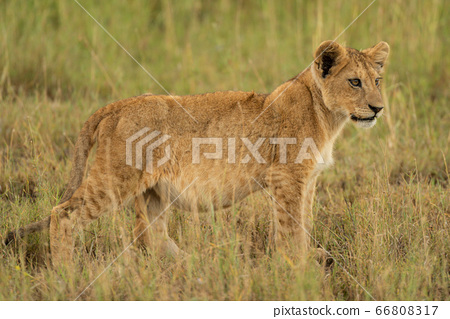 Lion cub stands in grass in profile 66808317