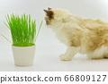 貓草布娃娃 66809127