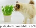貓草布娃娃 66809128