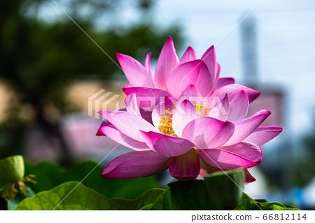 아름다운 연꽃 66812114