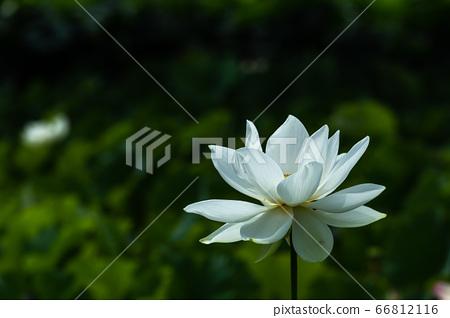 Beautiful white lotus 66812116