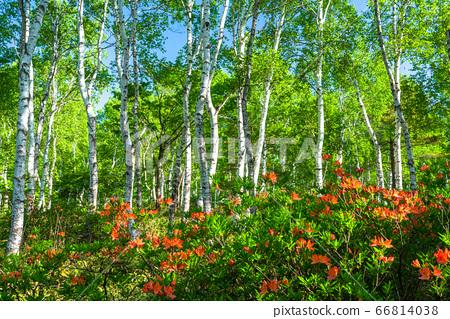 """""""長野縣""""杜鵑花和新鮮的白樺樹殖民地八千穗高原 66814038"""