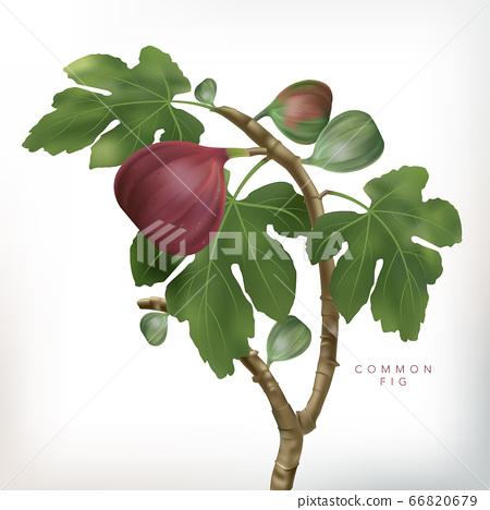 Vector 3D illustration Common Fig Tree Illustration in White Background 66820679