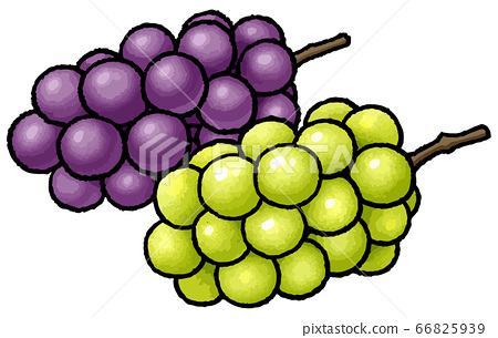 Hand drawn vector illustration of grapes and Muscat 66825939