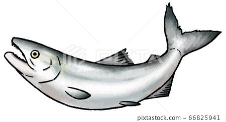 三文魚的手繪的矢量圖 66825941