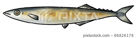 Hand-drawn vector illustration of grilled saury (1) 66826178