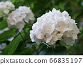 Hydrangea pink 66835197