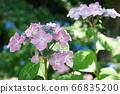 Hydrangea pink 66835200