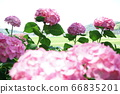Hydrangea pink 66835201