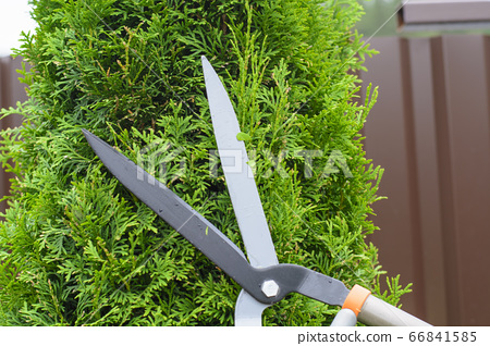 Hands are cut bush clippers in garden 66841585