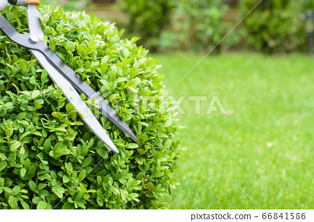 Hands are cut bush clippers in garden 66841586