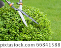 Hands are cut bush clippers in garden 66841588