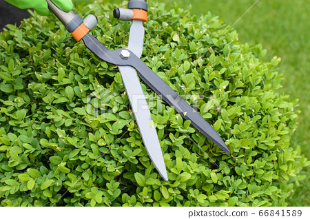 Hands are cut bush clippers in garden 66841589