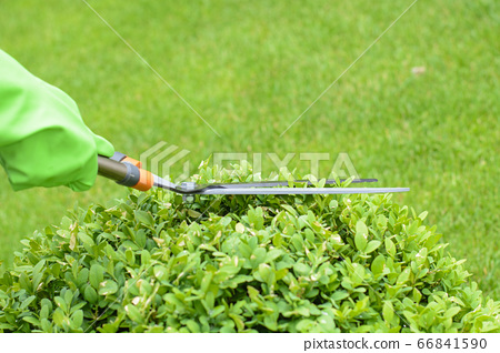 Hands are cut bush clippers in garden 66841590