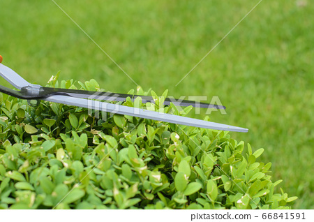 Hands are cut bush clippers in garden 66841591