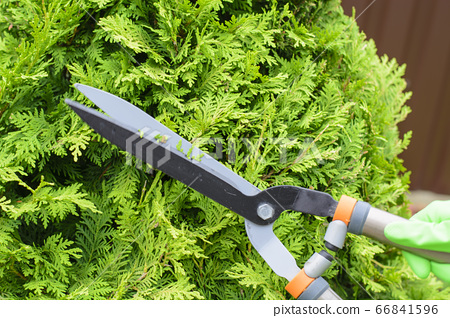 Hands are cut bush clippers in garden 66841596