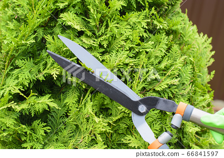 Hands are cut bush clippers in garden 66841597