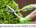 Hands are cut bush clippers in garden 66841598