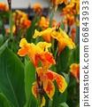 Yellow and orange canna 66843933