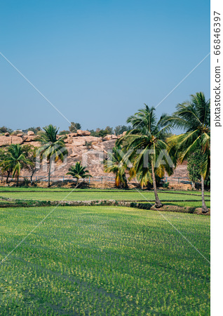 Green paddy field with palm trees in Hampi, India 66846397