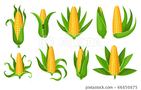 Corn collection. Isolated ripes corn ear. Yellow corn cobs with green leaves. Summer farm design elements. Sweet bunches of corn 66850875