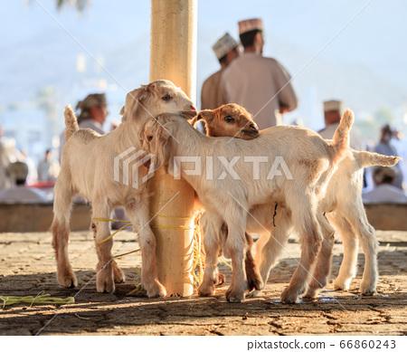 Goat market in Nizwa 66860243