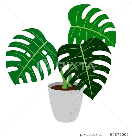 龜背竹盆栽植物的插圖 66875003