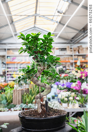 Ficus Bonsai Ginseng tree in a plant store 66878268